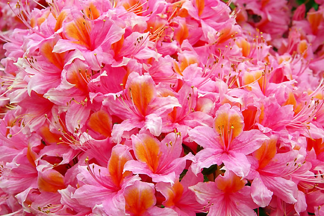 Rhododendron - nature photography