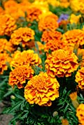 Photos - Marigolds