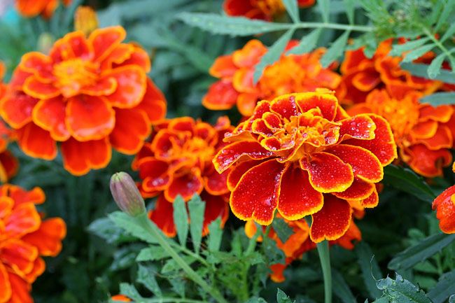 French marigold  - nature photography