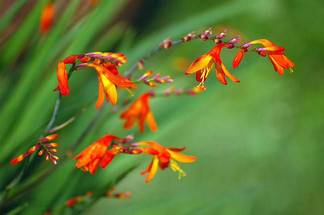 Crocosmia  - photos