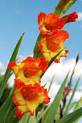 Gladiolus  - photos