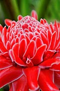 Ginger flower - photos, Etlingera elatior