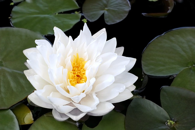 Water lilies  - photos