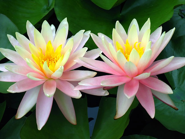 Water lilies   - pictures