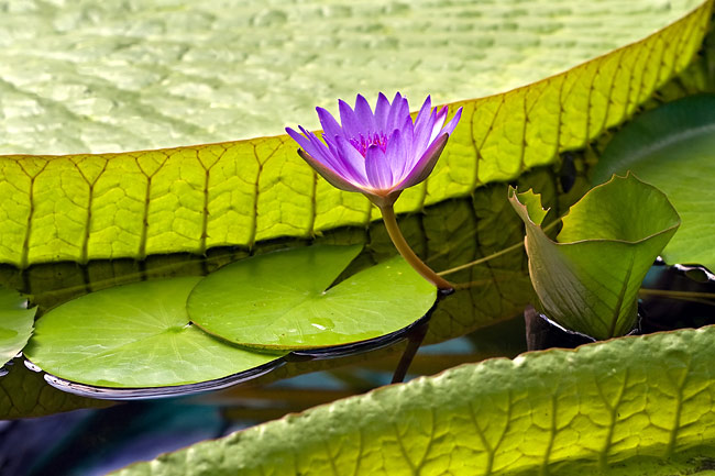 Water lilies  - photo stock