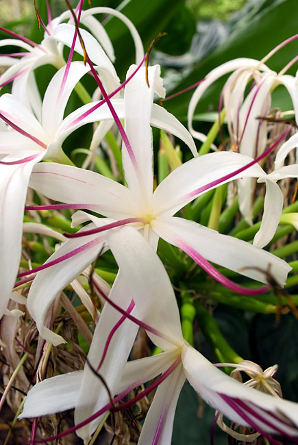 Spider lily - photos, Crinum