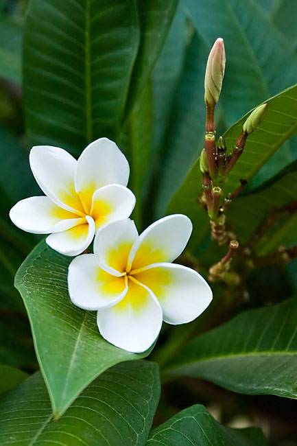 pictures - Frangipani
