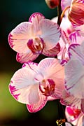 Orchids - Nature
