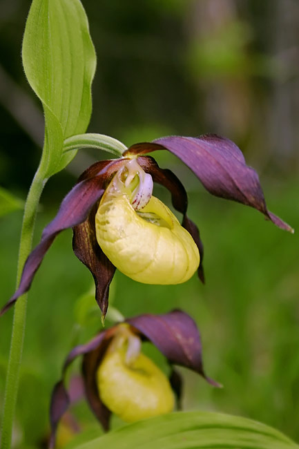Lady's Slipper Orchid, Cypripedium calceolus