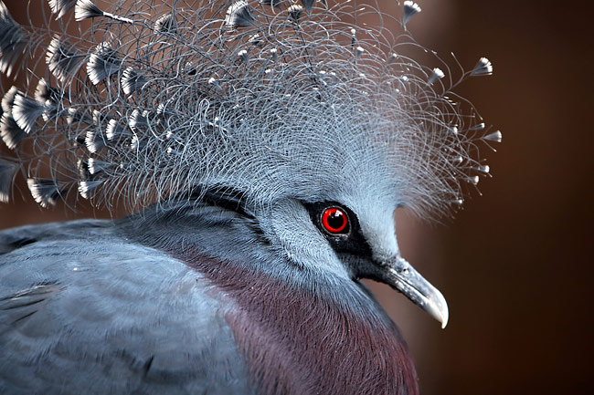 Victoria Crowned Pigeon  - pictures