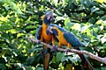 Blue-and-yellow Macaw  - photos, Ara araruna