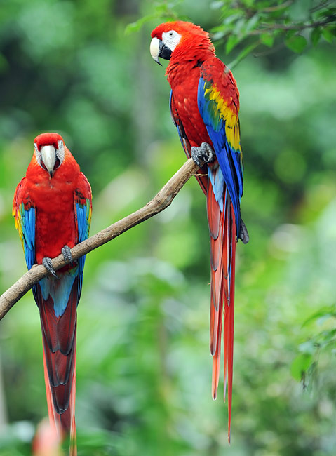 Scarlet Macaw - pictures, Ara macao