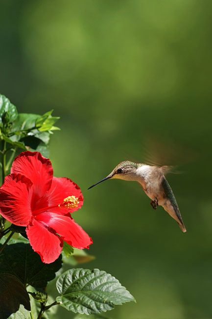 Hummingbirds - photos
