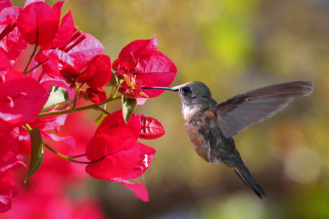 Hummingbirds  - pictures