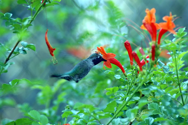 Hummingbirds - photography