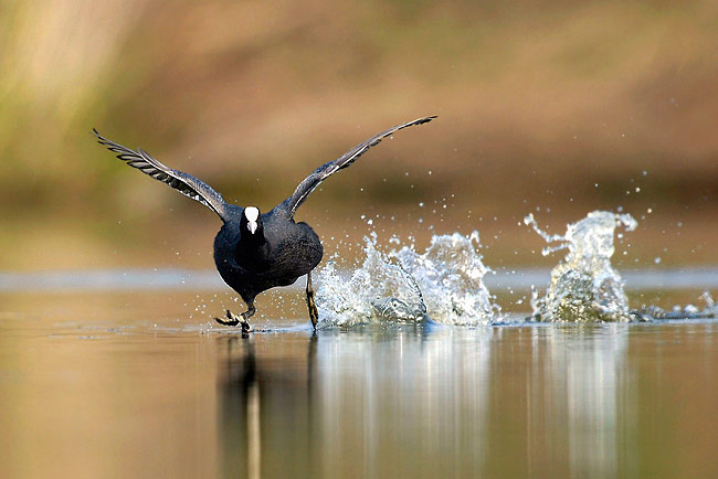 Photos - Coot