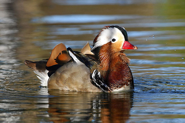 Mandarin Duck - photos, Aix galericulata