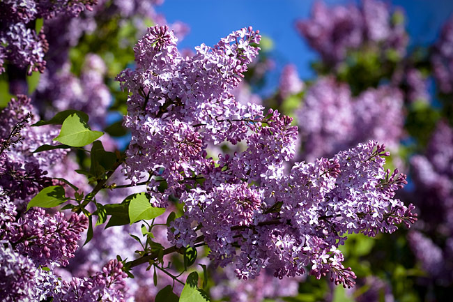 Lilac flowers  - pictures