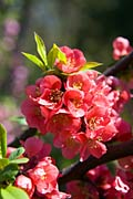 Pomegranate flowers - photos, Punica granatum