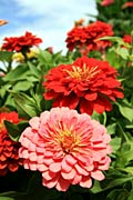 Zinnia - photos