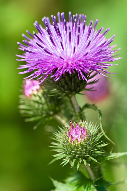 Thistle - photos, Carduus