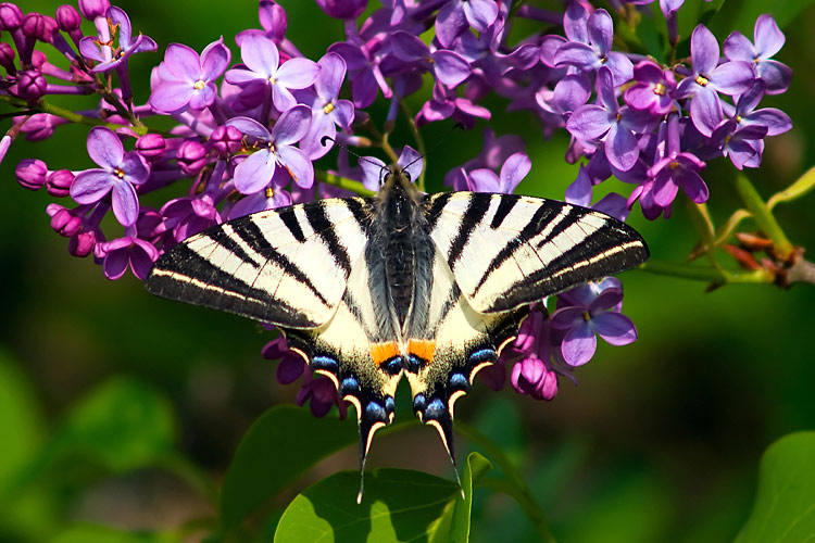 Scarce Swallowtail - photos, Iphiclides podalirius