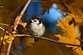 Tree Sparrow  - pictures