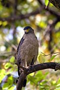 Crested Serpent-eagle  - pictures