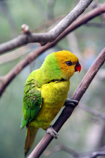 Olive-headed Lorikeet - photos, Trichoglossus euteles