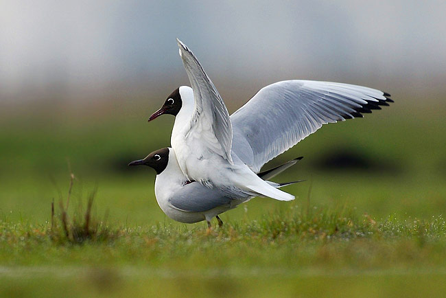 Black-headed Gull - photos, Larus ridibundus