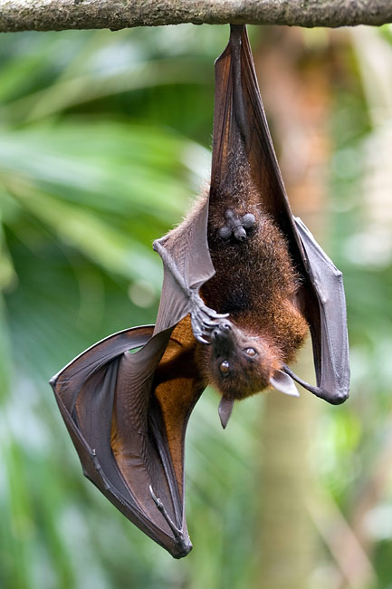 Flying Foxes - photos, Pteropus