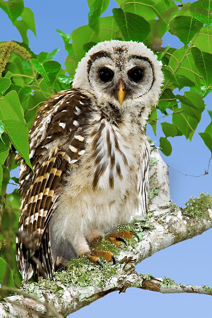 Barred Owl - photos, Strix varia