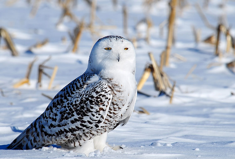 Snowy Owl  - pictures