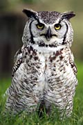 Photos - Great Horned Owl