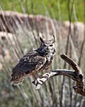 Great Horned Owl - nature photography