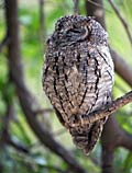 Scops Owl - photos, Otus scops
