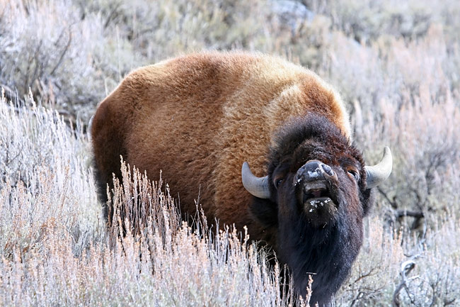 American Bison  - pictures