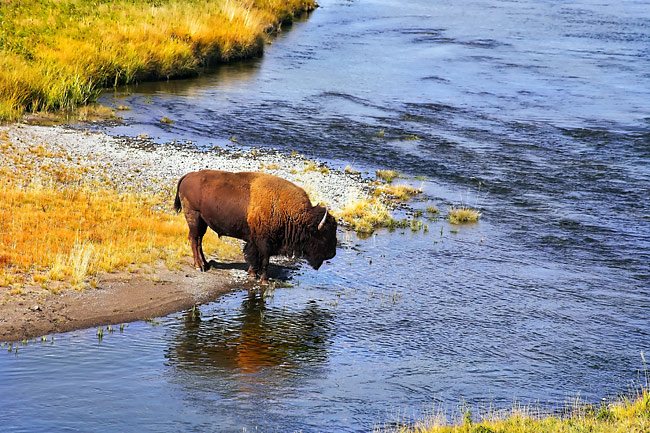 Photos - American Bison
