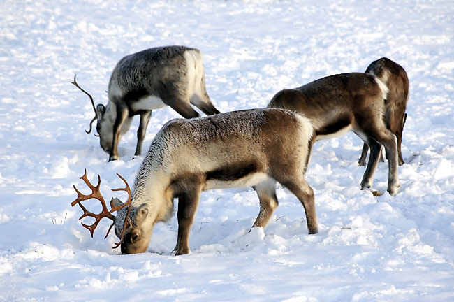 Reindeer - photos, Rangifer tarandus