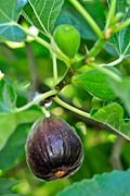 Figs  - pictures