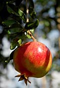 Pomegranate  - pictures