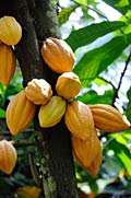 Cocoa  - pictures, Theobroma cacao