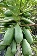 Papaya - Bilder, Carica papaya