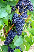 Grapes  - pictures