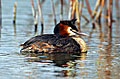 Great Crested Grebe  - pictures