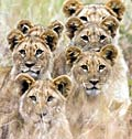 Lions - picture