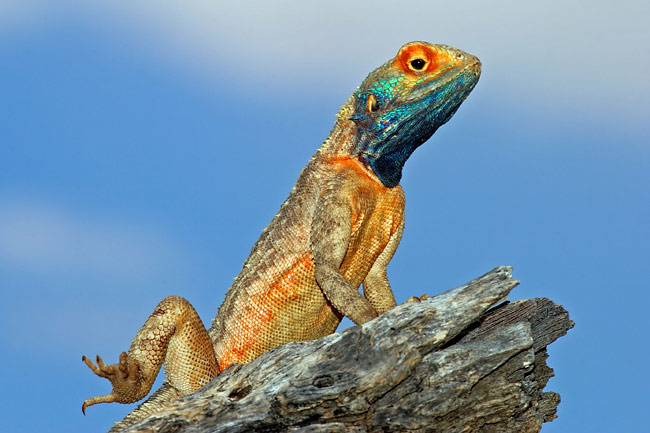 Agama  - pictures