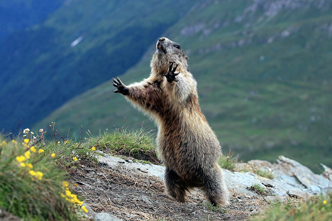 Alpine Marmot - photography