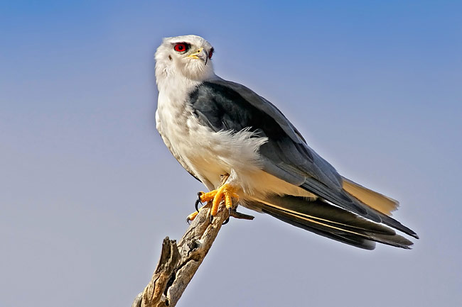 Black-winged Kite - photos, Elanus caeruleus