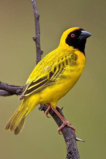Southern Masked-Weaver  - pictures